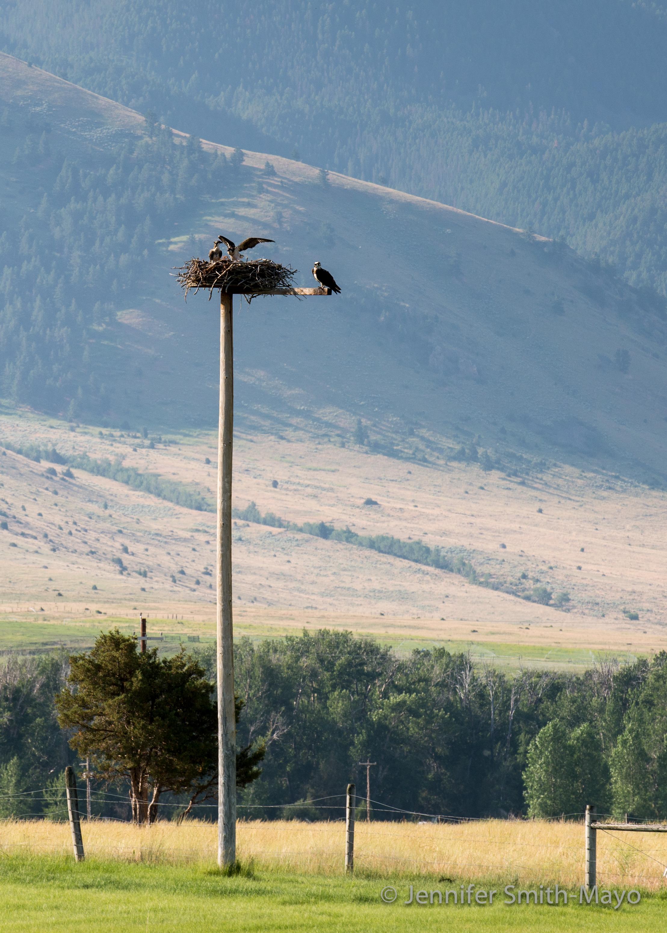 Osprey nest near the Yellowstone River, Loch Leven Fishing Access, Livingston, Montana